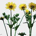Wild Sunflowers by Nina Silver