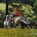Wild Turkey 2 by Sue Jarrett