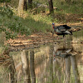 Wild Turkey Crossing by Charles McKelroy