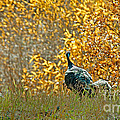 Wild Turkeys And Fall Colors by Robert Bales