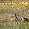 Wild Turkeys Grazing by Robin Vargo