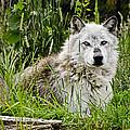 Wild Wolf by Jon Berghoff