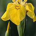 Wild Yellow Iris by Dale Kincaid