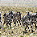 Wild Zebras Running  by Chris Scroggins
