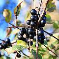 Wildberry Plant by Valentino Visentini