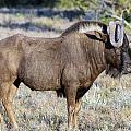 Wildebeest by Chris Whittle