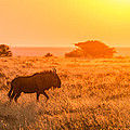 Wildebeest Sunset - Namibia Africa Photograph by Duane Miller