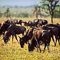 Wildebeests Herd. Gnu On African Savanna by Michal Bednarek