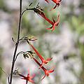 Wildflower by Carl Nielsen