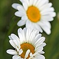 Wildflower Named Oxeye Daisy by J McCombie