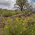 Wildflowers And Joshua Trees In Sunny Arizona by Willie Harper