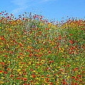 Wildflowers And Sky 2am-110541 by Andrew McInnes