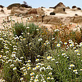 Wildflowers At Mungo National Park by Carole-Anne Fooks
