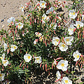 Wildflowers - Desert Primrose by Carol Groenen