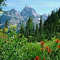 1m9372-v-wildflowers In Cascade Canyon, Tetons by Ed  Cooper Photography