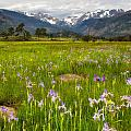 Wildflowers In Rocky Mountain National Park by Ronda Kimbrow