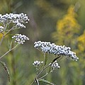 Wildflowers In September 2012 by Maria Urso