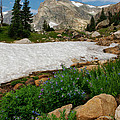 Wildflowers In The Indian Peaks Wilderness by Ronda Kimbrow