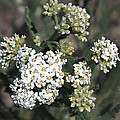 Wildflowers - White Yarrow by Carol Groenen