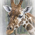 Wildlife Giraffe  by Linsey Williams