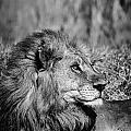 Wildlife Lion by Gigi Ebert
