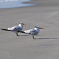 Wildwood - Royal Terns by Richard Reeve
