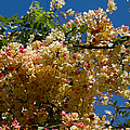 Wilhelmina Tenney Rainbow Shower Tree  by Sharon Mau