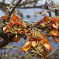 Wiliwili Flowers - Erythrina Sandwicensis - Kahikinui Maui Hawaii by Sharon Mau