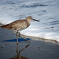Willet 002 by Larry Ward