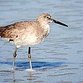 Willet 003 by Larry Ward