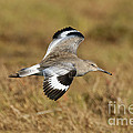 Willet In Flight by Anthony Mercieca