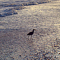 Willet In The Waves by Nancy L Marshall