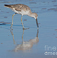 Willet Reflection by John Greco