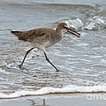 Willet With Mole Crab by Anthony Mercieca