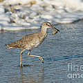 Willet With Sand Crab by Anthony Mercieca