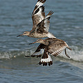 Willets In Flight Showing Molt by Anthony Mercieca