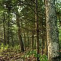 William's Woods by William Fields