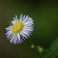 Willow Aster by Phill Doherty