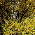 Willow Tree by Alexander Senin