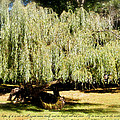 Willow Tree With Job Verse by Richard Bryce and Family