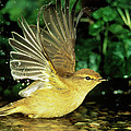 Willow Warbler Phylloscopus Trochilus by Duncan Usher