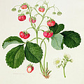 Wilmot's Cocks Comb Scarlet Strawberry by William Hooker