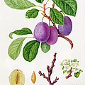 Wilmot's Early Violet Plum by William Hooker