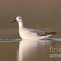 Wilsons Phalarope I by Clarence Holmes