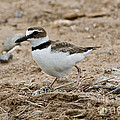 Wilsons Plover At Nest by Anthony Mercieca