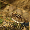 Wilson's Snipe by James Peterson