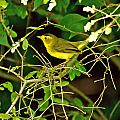 Wilson's Warbler by PJQandFriends Photography