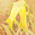 Wilted Yellow Lily In The Dew by Susan Blatchford