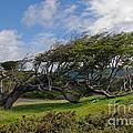 Wind-bent Tree In Tierra Del Fuego Patagonia  by Ralf Broskvar