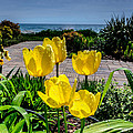 Wind Point Tulips by Randy Scherkenbach